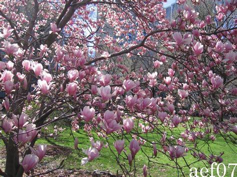 Magnolia K Che 3933 by Quando Fioriscono Le Prime Magnolie Significa Che La