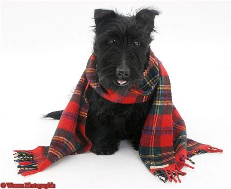 scottie dogs 17 best images about scottie dogs on