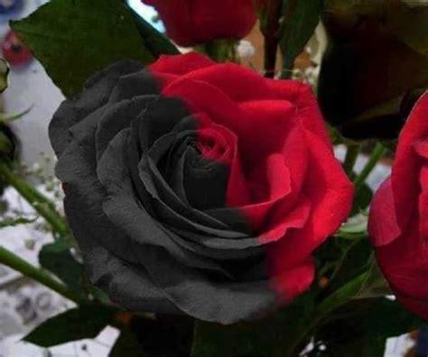 imagenes de rosas negras hermosas la cantina de los idiomas hermosas rosas negras de halfeti