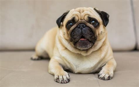 do pug dogs shed what are the best dogs with cats 13 breeds