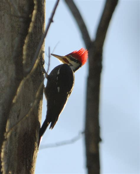 pileated woodpecker photo bryan ramsay photos at pbase com
