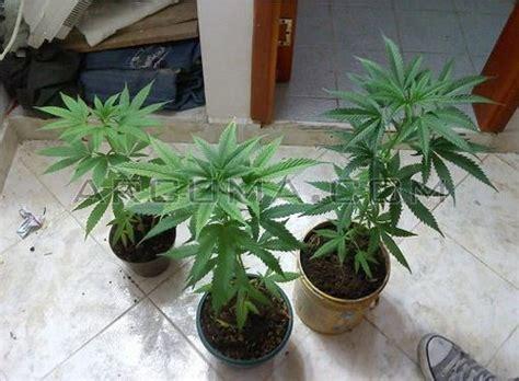 como plantar marihuana de interior como plantar marihuana en casa