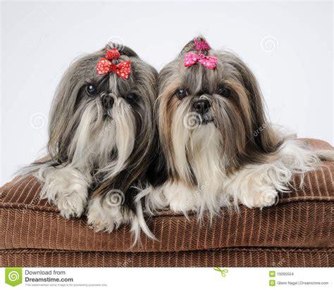 shih tzu precio perros de shih tzu imagenes de archivo imagen 19265554