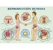 Los Humanos Son Mam&237feros Y La Manera De Reproducirse Comparte Las