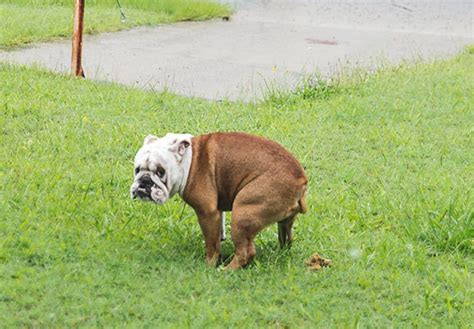 what is my thinking when he stares at me why does my bulldog stare at me when he poops bulldogguide