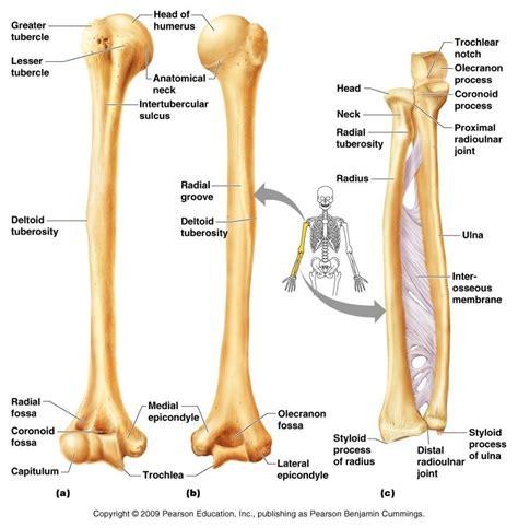 radius and ulna diagram humerus ulnar and radius bone anatomy bone disease