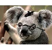 Funny Koala Bear