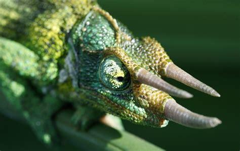 Chameleon Headl jackson s chameleon trioceros jacksonii about animals