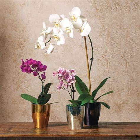 vaso per orchidea phalaenopsis orchidea phalaenopsis orchidee curare orchidea
