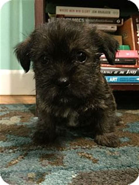 cairn terrier pomeranian mix omaha ne cairn terrier pomeranian mix meet fido pending adoption a puppy for adoption