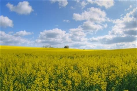 free rape section oil seed rape hdr photo free download