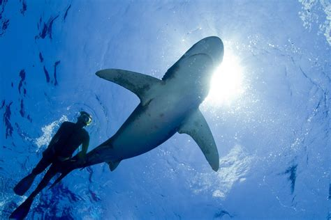 dive shark dangers of scuba diving with sharks