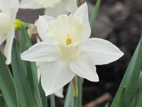 fiore con la z significato narciso linguaggio dei fiori
