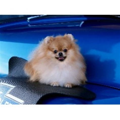 pomeranian breeders va pomeranian breeders in breeds picture