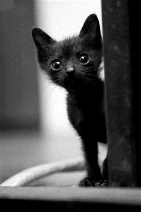 black xat black cats are awesome here are 32 of them