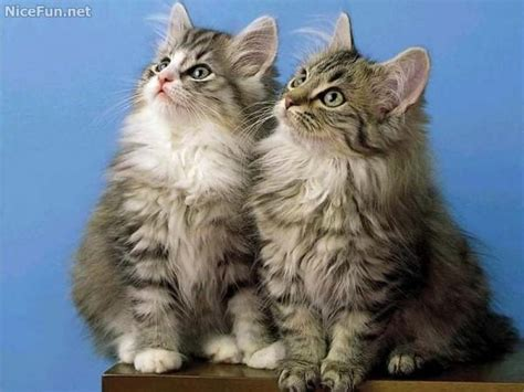 twin cats twin cats 171 very cute cute pictures pinterest