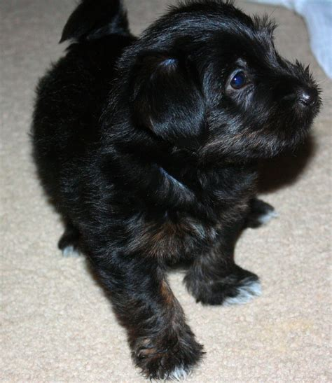 shih tzu yorkie mix hypoallergenic the 25 best yorkie shih tzu mix ideas on shorkie tzu shorkie puppies and