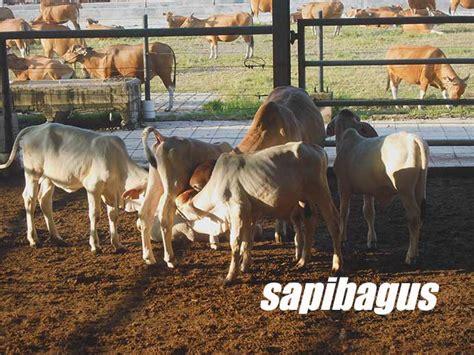 Bibit Sapi Per Ekor Pemerintah Cabut Sistem Kuota Impor Bakalan Sapi Dan Daging Sapi Beku Sapibagus