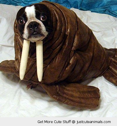 walrus pug 221 best images about pit bull mixed friends on american pit pit bull