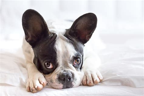 puppy diseases a guide to common diseases and ailments rover