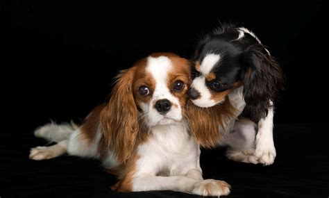 king charles cavalier spaniel puppy cavalier king charles spaniel pictures images and photos