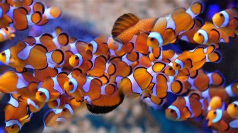 la chachipedia el pez payaso apexwallpaperscom cuidados y caracter 237 sticas de un pez payaso youtube