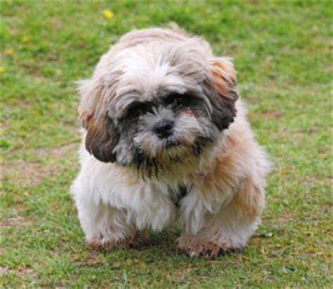 is a shih tzu a hypoallergenic grooming is shih tzu hypoallergenic shihtzu web