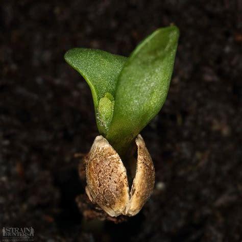 como plantar marihuana de interior como cultivar marihuana en interior marijuana tm