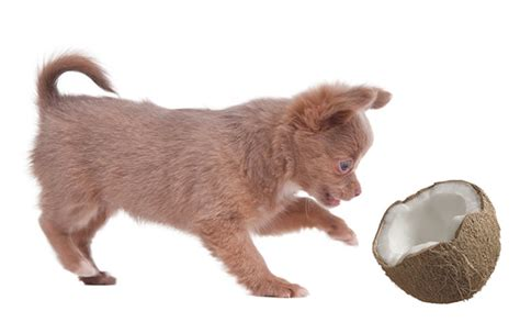 benefits of coconut for dogs benefits of coconut for dogs dogsarena