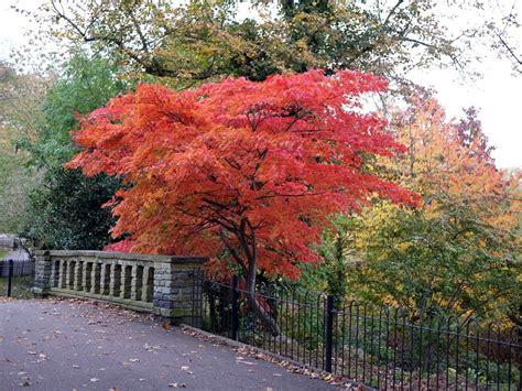 aceri da giardino acero giapponese uno splendido albero per il tuo giardino
