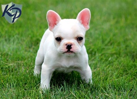 teacup bulldog puppies for sale in pa miniature bulldogs for sale precious bulldog puppies for sale in