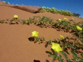 desert flowers wild desert flowers beyonddisneytraveltips