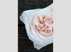 Premium Scented garden Rose White O'hara Light Pink Hearts