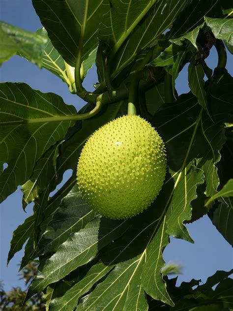 imagenes de jackfruit breadfruit wikipedia