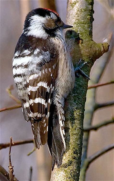 ls with birds on them lesser spotted woodpecker