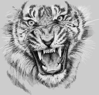 angry tiger drawing google search tats pinterest