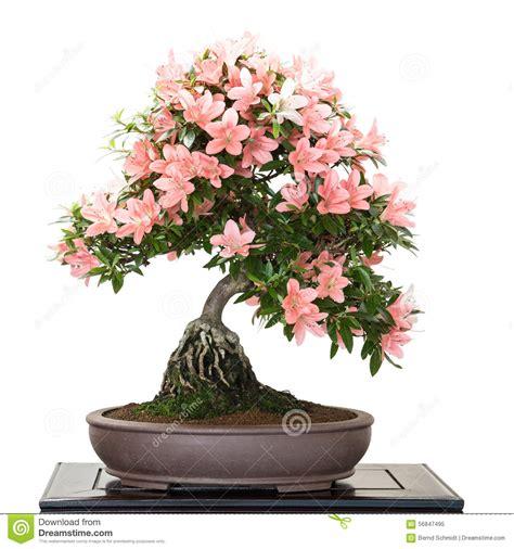 Bonsai Pink satsuki azalea with flowers as bonsai tree stock image