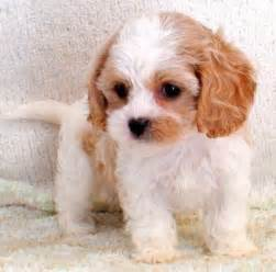 cavachon puppies 24 best images about cavachon puppy on the family arches and manual