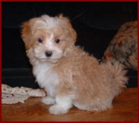 Small Non Shedding Hypoallergenic Dogs by Non Shedding Small Mixed Breed Dogs Breeds Picture