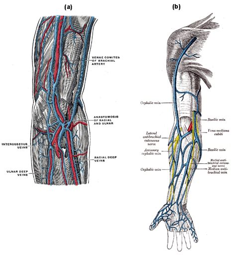 vein diagram of arm 1 high res image clinical significance of