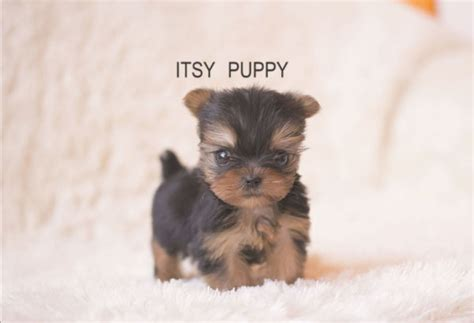 grown micro teacup yorkie imgs for gt micro teacup yorkie grown