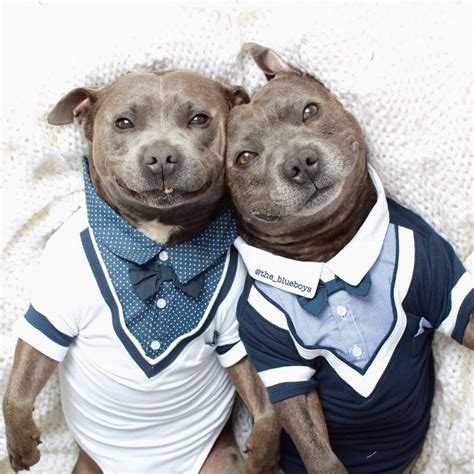 pitbull clothes adorable pit bull brothers will instantly make your day better bored panda