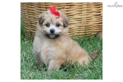 Pomeranian Shedding by Meet Porsha A Pomeranian Puppy For Sale For 300