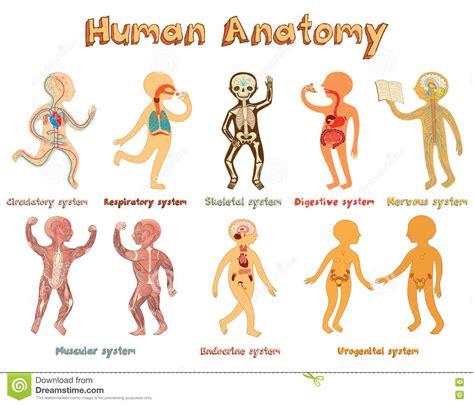 anatomia umana immagini organi interni illustrazione di anatomia umana sistemi degli organi per