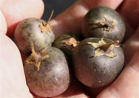 Potato Wiki by File Potato Fruits Jpg Wikimedia Commons