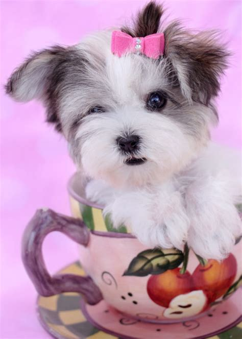 designer puppies for sale morkie puppies and designer breed puppies for sale by