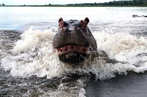 hippopotamus chasing a boat forget hungry hippos it s angry hippos you need to watch