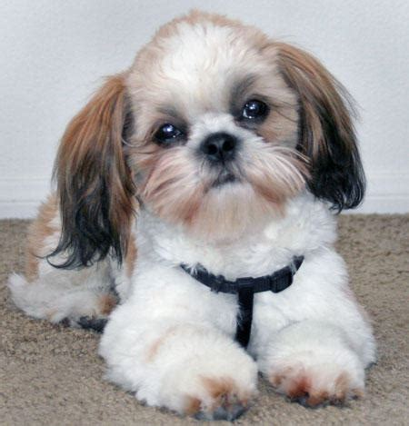 shih tzu blogs dogs 187 shih tzu blogs on dogs