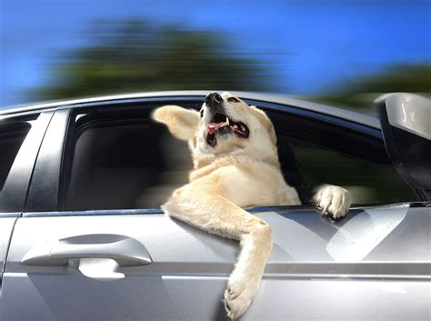 dogs in cars dogs in cars adorable photos of dogs enjoying their ride bored panda