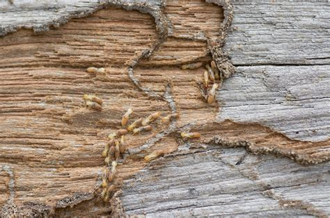 comment savoir si on a des termites 1963 closeup wood has been damaged eat by termite aai pest